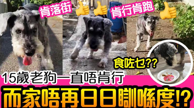 老狗/15歲老狗一直唔肯行,食咗神仙粉!而家唔再日日瞓喺度! | 狗狗健康