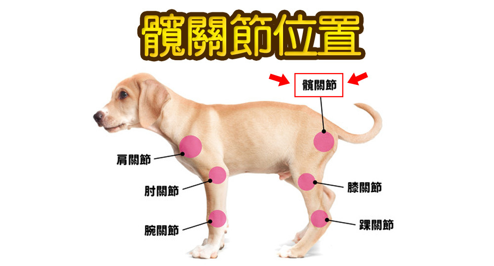 狗髖關節, 狗髖關節按摩, 狗髖關節手術, 狗髖關節權威, 狗髖關節針灸, 狗髖關節保養, 髖關節癱瘓狗, 狗髖關節脫臼, 狗狗髖關節骨折, 不能忽視狗狗髖關節問題