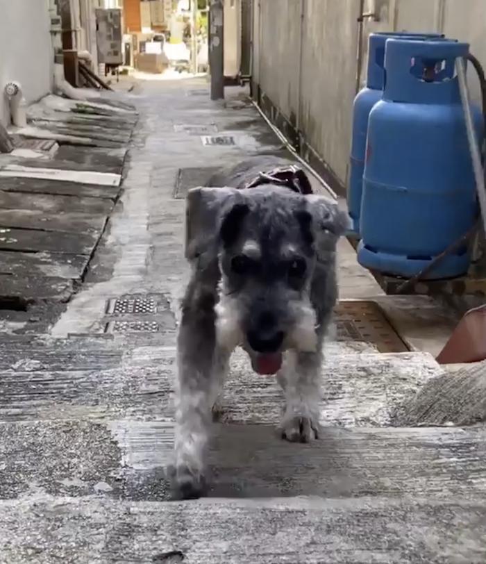 15歲老狗一直唔肯行,食咗神仙粉!而家唔再日日瞓喺度!   狗狗健康/