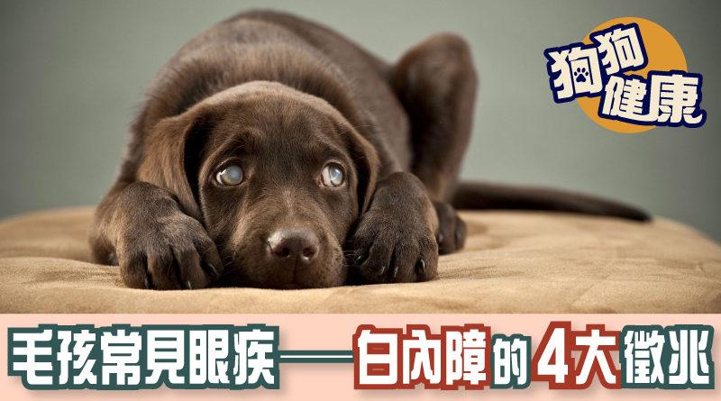 狗 白內障