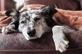 免疫系统失调,狗狗皮肤病