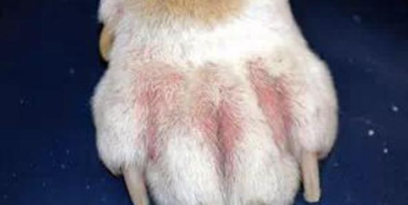酵母菌感染,狗狗皮肤病