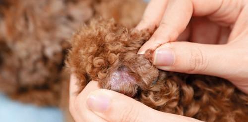 狗皮膚敏感