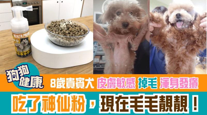 8歲貴賓犬皮膚敏感、掉毛、渾身發癢!吃了神仙粉,現在毛毛靚靚!